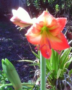 lilies2014