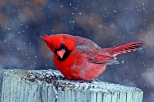 Cardinal in the Snow.jpg By AcrylicArtist