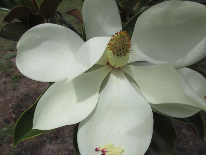 magnoliajune2016
