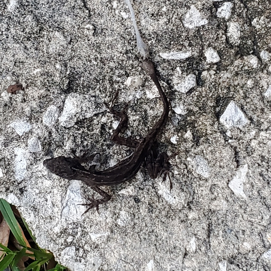 Lizard photo copyright Juli D. Revezzo, 2020